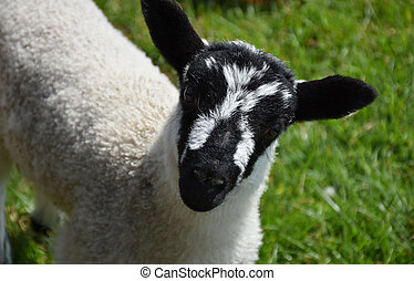 Close Up Look Into the Face of a Very Cute Lamb in Herefordshire