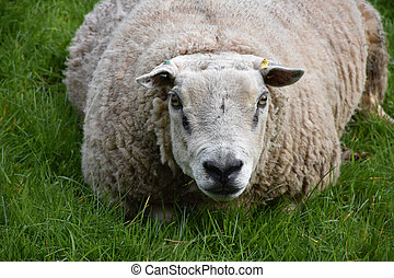 Close Up Look Into the Face of a White Sheep