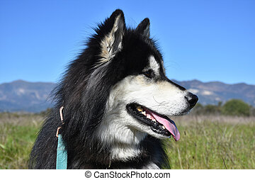 Close Up Look into the Profile of a Siberian Husky Dog