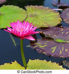 close up Lotus flower