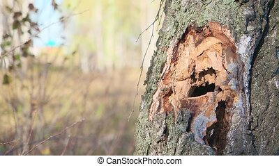 Close-up, lumberjack cuts a big tree in the wood with a...