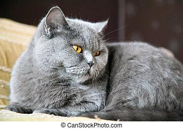 Close-up Lying British Cat
