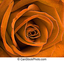 close up macro of a yellow rose