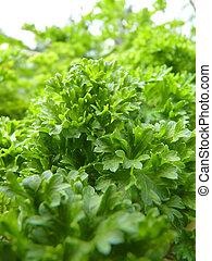 Close Up Macro of Curly Leaf Parsley Leaves