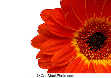 Red Gerbera Daisy - Close Up Macro Shot Of A Red Gerbera...