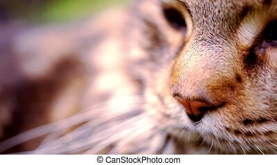 Close up Maine Coon black tabby cat with green eye lying on grass. Macro video shift motion 1920*1080