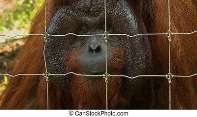 Close-Up | Male Orang-utan Face, Orang Utan Island