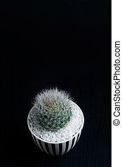 Close up Mammillaria bocassana cactus in ceramic pot