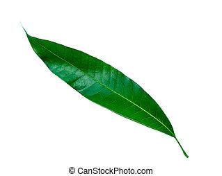 Close up mango leaf on white background