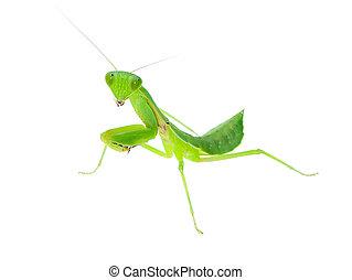 Close up Mantis