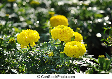 Close up Marigold flowers in the garden