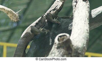 Close up monitor lizard crawling on tree branch close up....