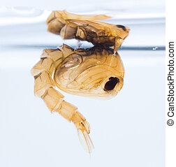 Mosquito pupa - Close up Mosquito pupa underwater