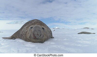 Close-up muzzle of Elephant seal lying on snow.