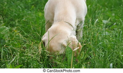 Close up muzzle of labrador or golden retriever playing on green grass in yard. Attentive animal looking for food at lawn. Slow motion Front view.