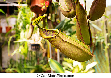 Close up Nepenthes plant in the Cloud Forest