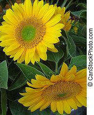 Close up of 2 Sunflowers