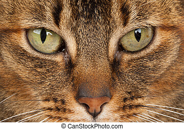 close up of a Abyssinian