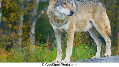 Close-up of a adult grey wolf standing on a rock in the...