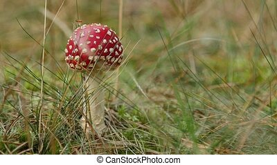 Close-up of a Amanita poisonous mushroom in nature.