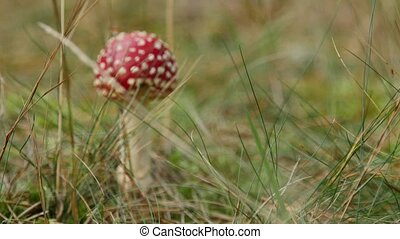 Close-up of a Amanita poisonous mushroom in nature. - Close...