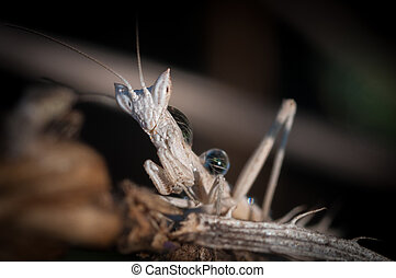 Close up of a baby praying mantis- Israel