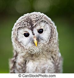 Close up of a baby Tawny Owl (Strix aluco)