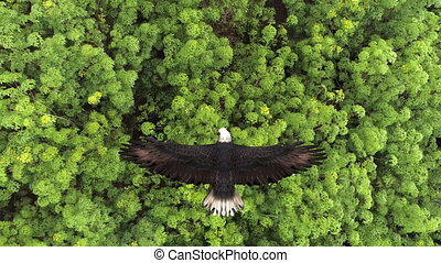 Close-up of a bald eagle flying over the forest.