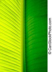 Close-up of a banana palm tree leaf