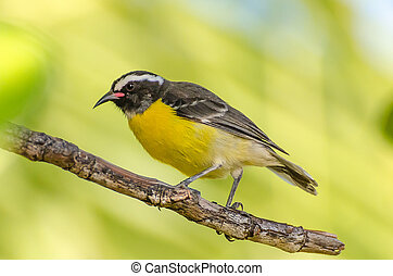 Close-up of a Bananaquit Bird on a branch