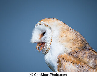 Close up of a barn owl after swallowing a mouse - Barn owl ...