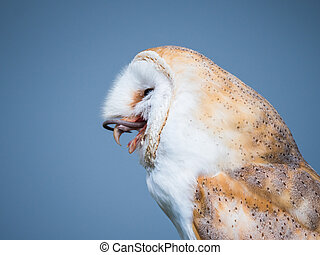 Close up of a barn owl swallowing a mouse - Close up of a ...