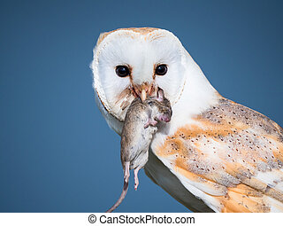 Close up of a barn owl with a mouse - Barn owl or tyto alba ...