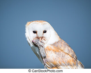 Close up of a barn owl with a mouse - Close up of a barn owl...