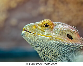 Close up of a bearded dragon lizard