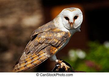 close-up of a beautiful barn owl (Tyto alba)