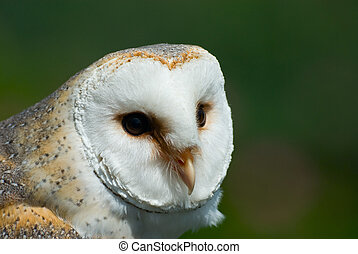 barn owl - close-up of a beautiful barn owl (Tyto alba)