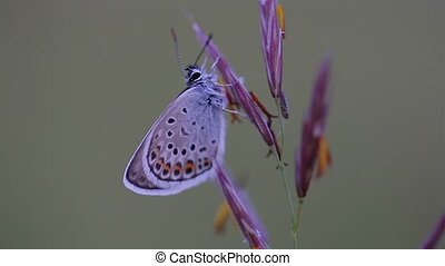 Close up of a beautiful butterfly on the grass (Common Blue,Polyommatus icarus)