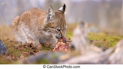 Close-up of a beautiful eurasian lynx cub eating meat in the forest in wilderness area. Carnivore mammal.