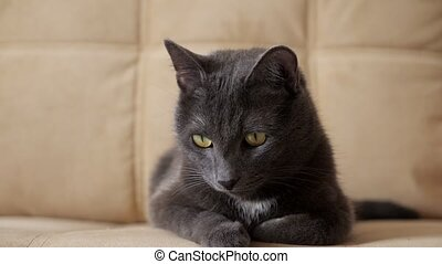 Close-up of a beautiful gray cat sitting on the edge of a ...