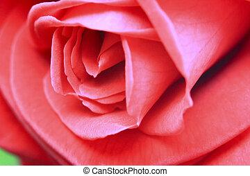 Close up of a beautiful pink rose.