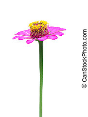 Close up of a beautiful purple red zinnia flower isolated on white background