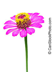 Close up of a beautiful purple red zinnia flower