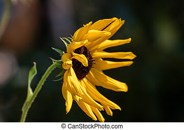 Close up of a beautiful sunflower in the garden at summer time