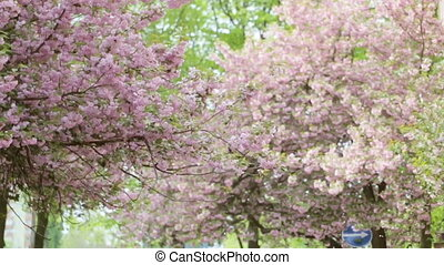 Close up of a beautiful tree full of purple blossom.
