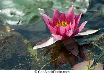 beautiful waterlily - close-up of a beautiful waterlily