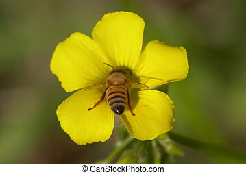 close up of a bee collecting nectar from an yellow flower, rear view