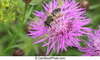 Close-up of a bee perched on a freshly bloomed thistle...