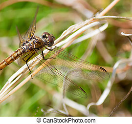 beige dragonfly