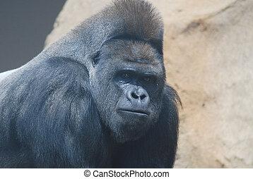 close-up of a big black hairy gorilla